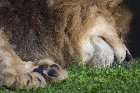 a lion is resting pacefully over the grass photo