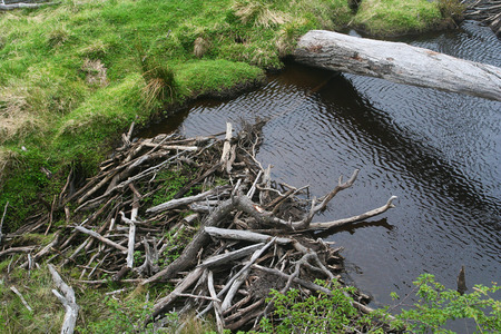 environmental damage: beaver dam in ushuaia (argentina), where they haven´t got predators, have caused a serious environmental damage
