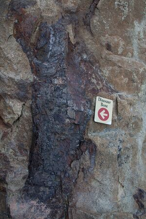 morrison: fossilized dinosaur bone close to the dinosaur trackway, near morrison, colorado