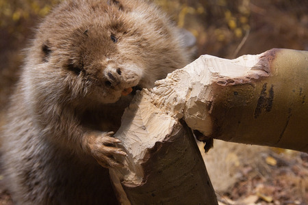 a beaver is cutting a tree to build a dam Stock Photo