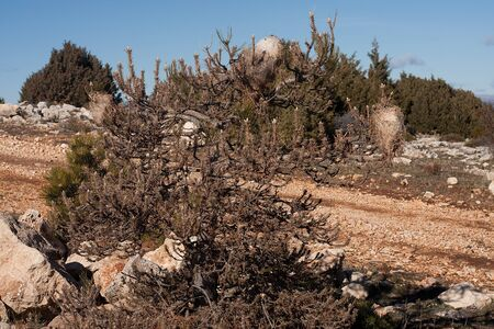 irritating: a pine tree is dying. pine processionary is a moth of the family thaumetopoeidae, a very destructive species