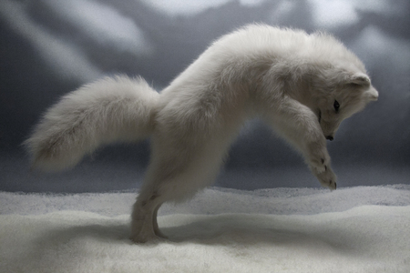 a little white wolf is jumping and playing