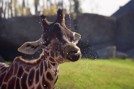 funny expression of a giraffe after drinking water, looks like kissing