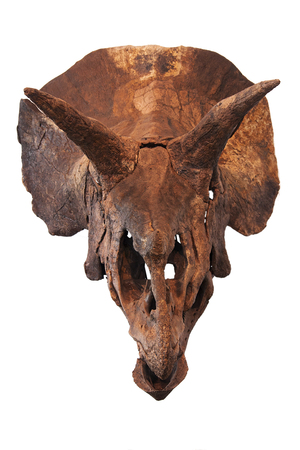 a triceratops skull isolated on white