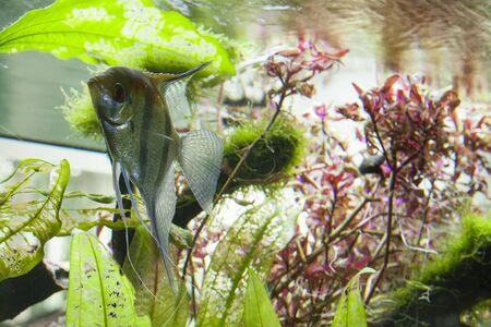 fish between some algae, in an aquarium
