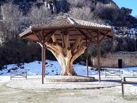 an ancient walnut tree in Nerpio