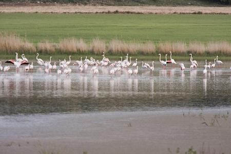 flamingos in petrola lagoon, in spain