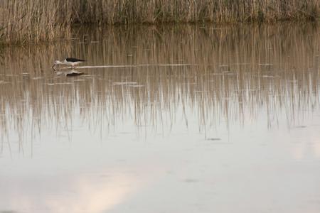 black-winged stilt in petrola lagoon, in spain