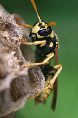 macro photography of a wasp Standard-Bild - 120024409