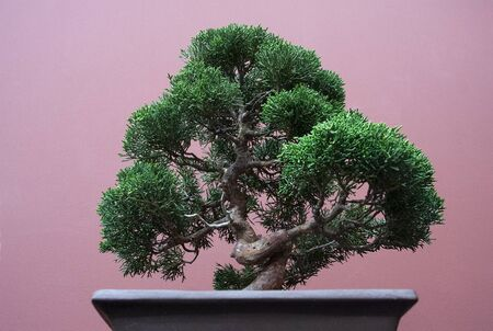 a beautiful bonsai tree gardened indoors