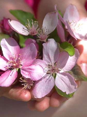Child holding crabapple blossoms