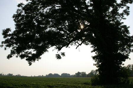 Lone pecan tree in soy field