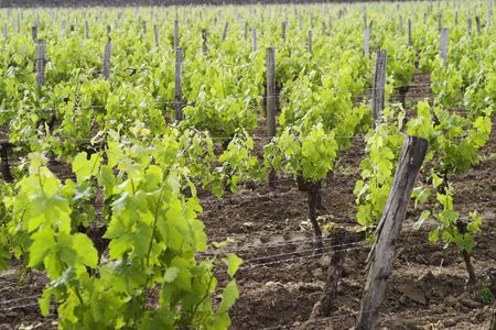 Foggy vineyards in St. Emilion, France, a UNESCO world heritage site. photo