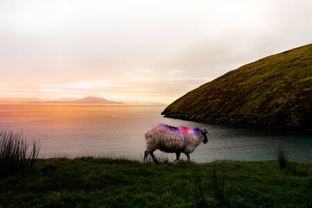 A single sheep a the coast in Achill Island Ireland in the sunset. The sheep has a color marking in pink and violet and is walking down the waterside.