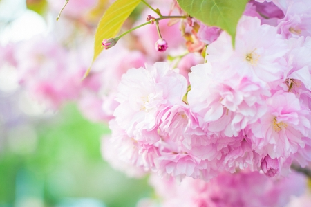 Beautiful spring cherry sakura blossom with fading in to pastel pink and white background. Shallow depth of field. White blue sky background