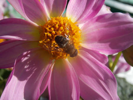 stamen wasp: bee collecting pollen from pink flowers Stock Photo