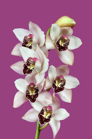 orchideae: Cymbidium - beautiful orchid on a purple background