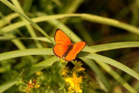 Beautiful orange butterfly - scarce copper (Lycaena virgaureae)