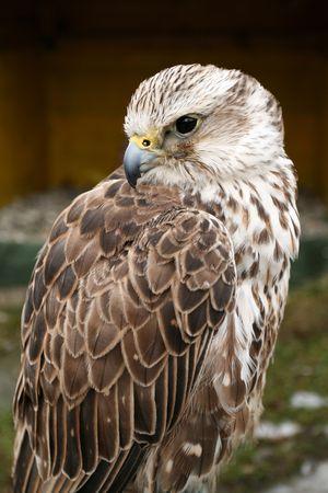 Saker falcon bird. Beautiful predator looking left. Stock Photo - 2842630