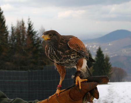 Harris hawk on the hand of falconer. Beautiful bird. photo