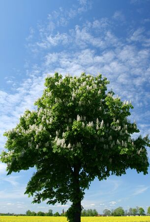 Horse chestnut tree blooming. Landscape of Poland. Canola field in the bottom. photo