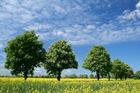 canola: Rapeseed canola field and a row of chestnut trees in Poland Stock Photo