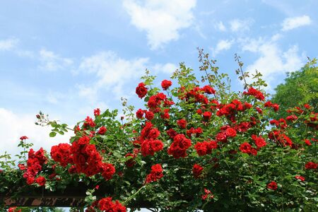 rose bush: Beautiful rose bush against blue sky with white clouds