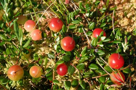 palustris: Wild, red berries of a cranberry.  Oxycoccus palustris.