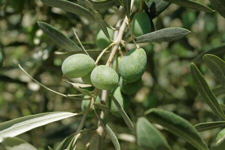 fethiye: Olives on a tree. Fethiye, Turkey.