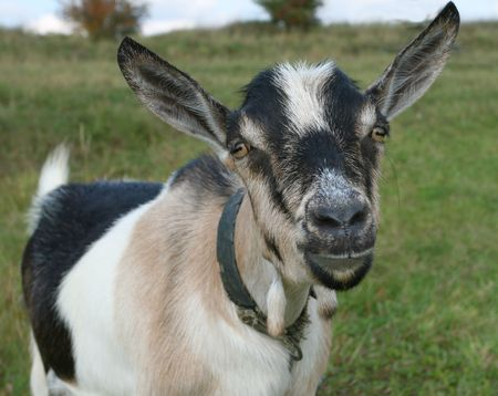 hircus: Goat with big ears looking into the camera. Farm animal.