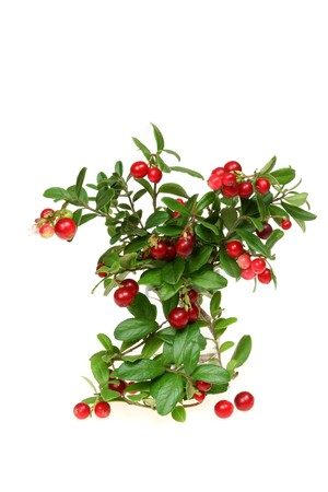 mountain cranberry: Cowberry (or red whortleberry, or mountain cranberry). Plant with fruits.