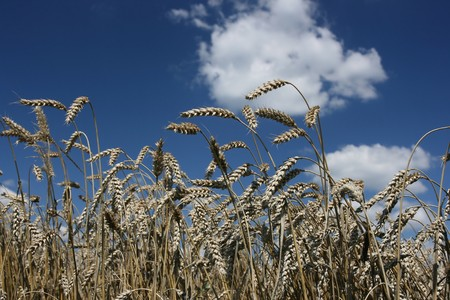 Grain ready for harvest growing in a farm field Stock Photo - 4505168