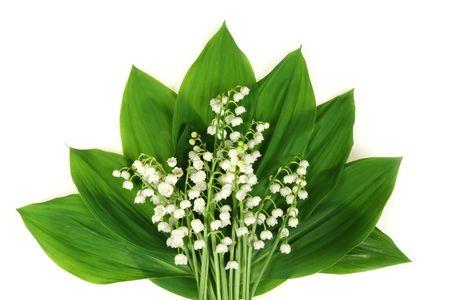 Convallaria majalis bloemen - lelie van de vallei. Witte lelies geïsoleerd op een witte achtergrond. Stockfoto