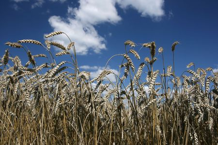Grain ready for harvest growing in a farm field Stock Photo - 4890665