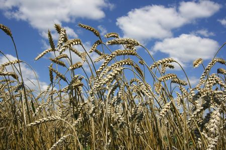 Yellow grain ready for harvest growing in a farm field. Stock Photo - 5910682