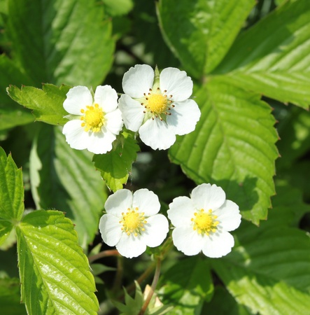 Woodland strawberry (Fragaria vesca) in Poland. Blooming plant.