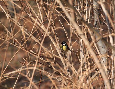 passerine: Cinciallegra (Parus major) - uccello in Polonia