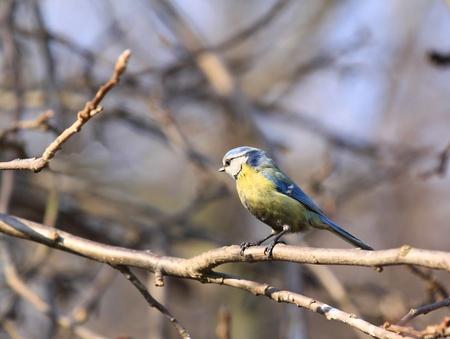 passerine: Blue Tit (Cyanistes caeruleus) - uccello in Polonia