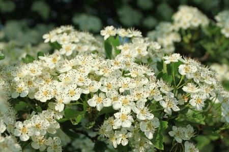 crata�gus: �rbol de espino (Crataegus) florece en primavera. Campo en Polonia. Foto de archivo