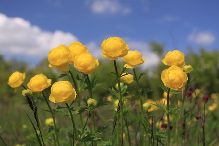 Flowers in Poland - globeflower (Trollius) blooms in a meadow photo