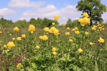 Globeflower (Trollius) blooms in a meadow - nature in Poland photo