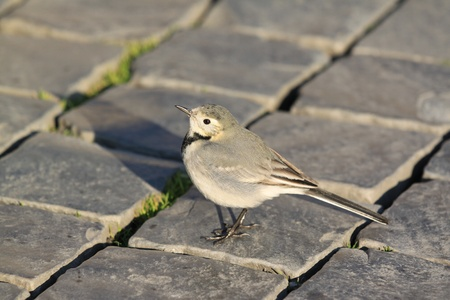 motacilla: Motacilla alba - White wagtail. Small passerine bird in the city.