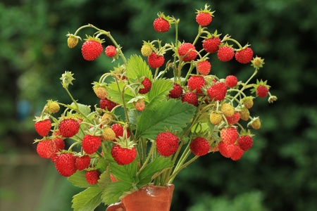 Wild strawberries - beautiful natural fruit