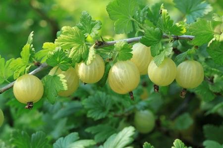 ribes: Gooseberry (Ribes uva-crispa) - fruit bush. Nature in Poland. Stock Photo