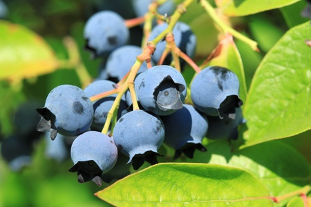 Northern highbush blueberry (Vaccinium corymbosum) - deciduous shrub with delicious fruit