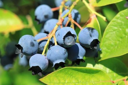 Northern highbush blueberry (Vaccinium corymbosum) - deciduous shrub with delicious fruit