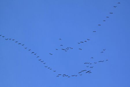formations: Trekvogels vormen een V-formatie. Ornithologie concept. Stockfoto