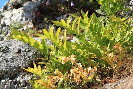 corydalis: Corydalis plant in Poland. Nature of Europe.