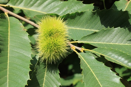 marron: Castanea sativa - Sweet Chestnut (or marron). Edible fruit in a tree.