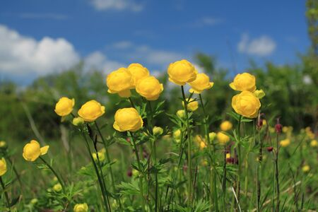 Nature in Poland - globeflower (Trollius) blooms in a meadow photo